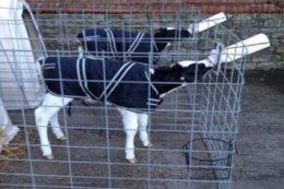 300x200-image-calf