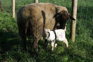 lamb-jacket
