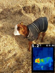 Calf 1 - 5.2 degrees celcius
